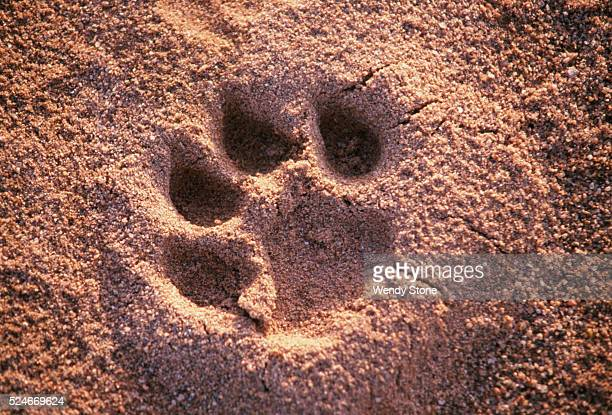 A lion paw print in the sand on the banks of the Galana River in the National Park Tsavo's lions were made famous by Colonel Patterson in his book...