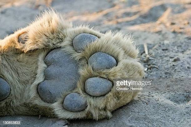 lion paw (panthera leo), savuti, chobe national park, botswana, africa - big foot stock photos and pictures