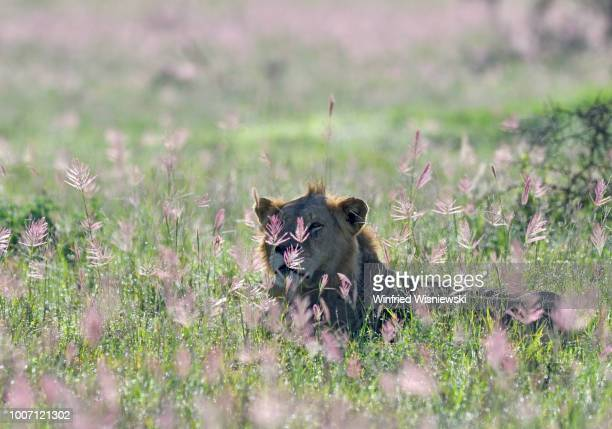lion (panthera leo) - gras stock pictures, royalty-free photos & images
