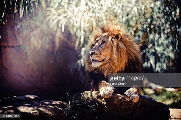 lion - taronga zoo stock pictures, royalty-free photos & images