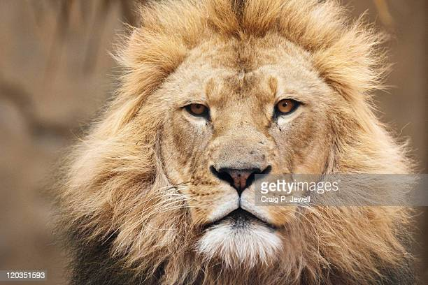 World's Best Angry Lion Face Stock Pictures, Photos, and ...