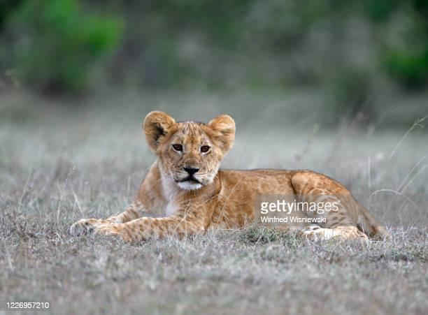 lion (panthera leo) - afrika afrika stock pictures, royalty-free photos & images