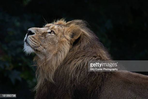 lion - lion stock pictures, royalty-free photos & images