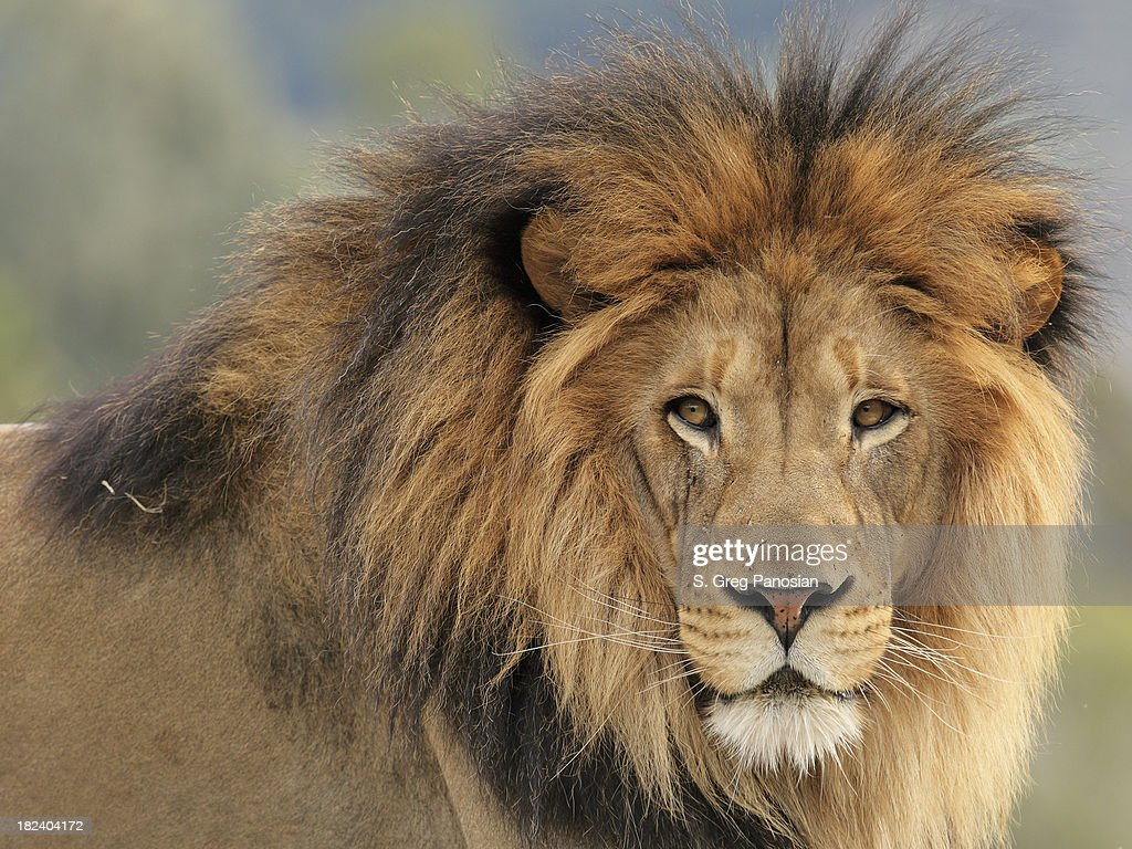 Leão : Foto de stock