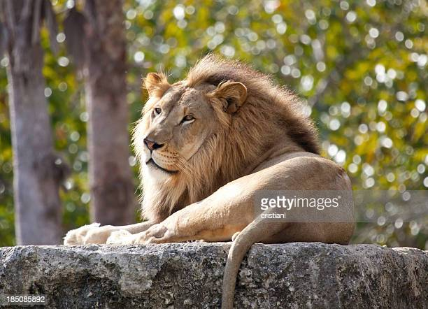 lion - zoo stock pictures, royalty-free photos & images