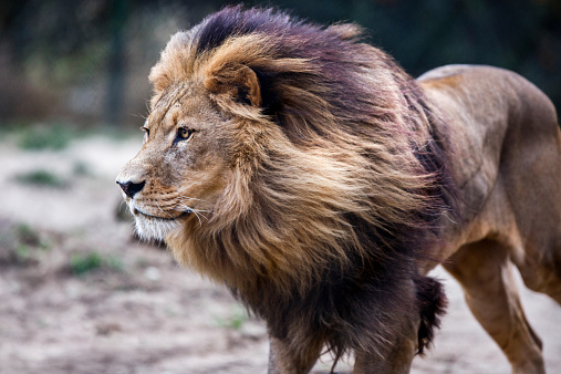 Lion. 522963689