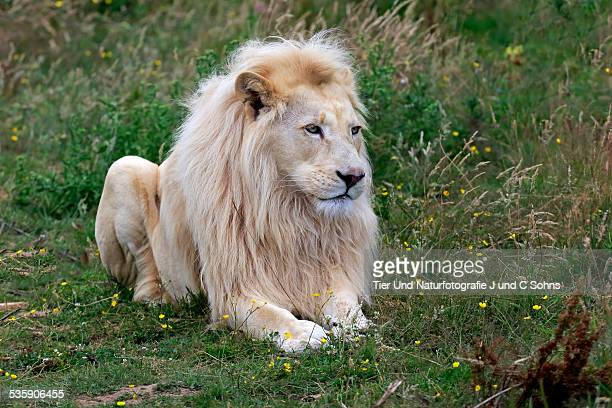 lion - white lion stock photos and pictures
