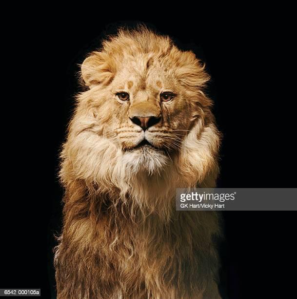 lion - tierkopf stock-fotos und bilder