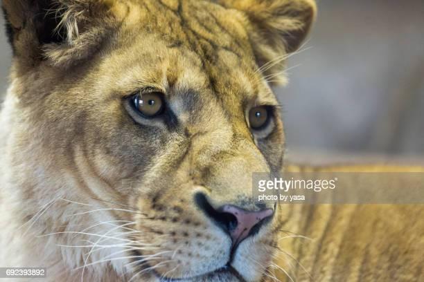lion - ライオン fotografías e imágenes de stock
