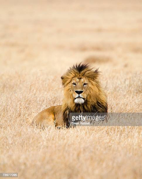 a lion - lion stock pictures, royalty-free photos & images