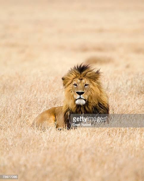 a lion - lion feline stock pictures, royalty-free photos & images