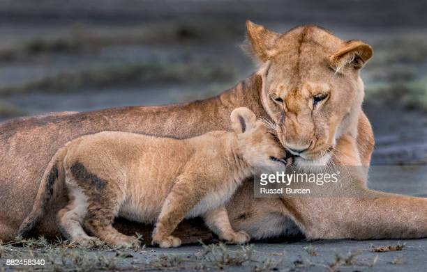 lion - cub stock pictures, royalty-free photos & images