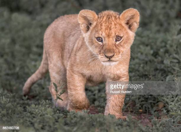 lion - lion cub stock photos and pictures