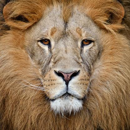 lion 899748204