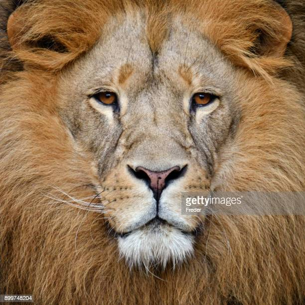 lion - lion feline stock pictures, royalty-free photos & images