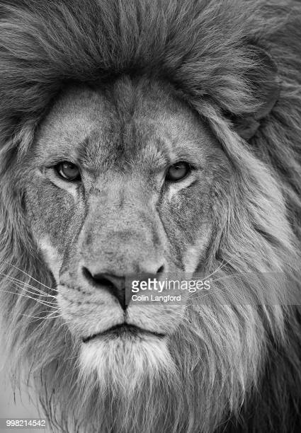 Black And White Lion Stock Photos And Pictures