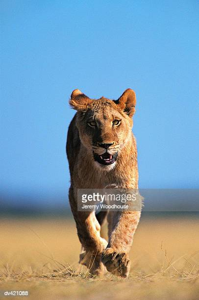 lion (panthera leo) - lioness stock pictures, royalty-free photos & images