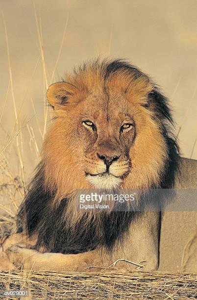 Lion Portrait (Panthera Leo), Kalahari Gemsbok Park