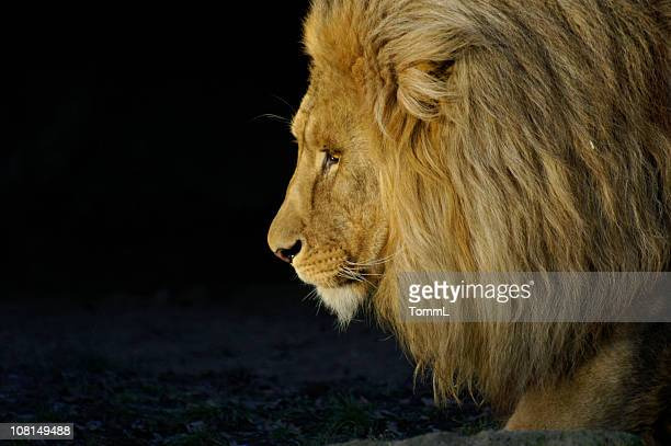 lion portrait - lion feline stock pictures, royalty-free photos & images