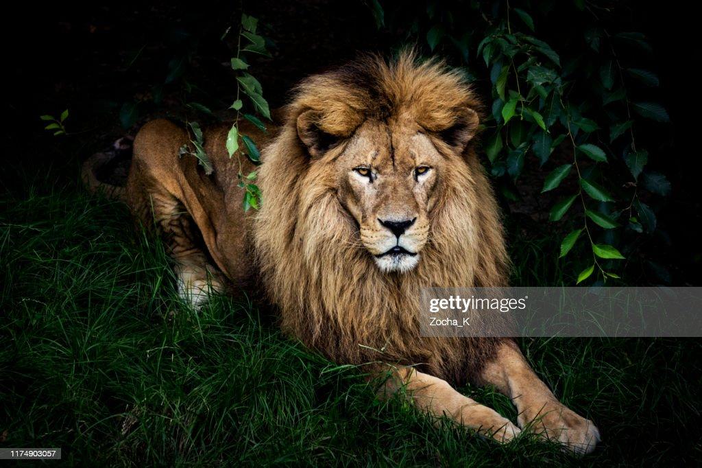 Lion portrait : Foto de stock