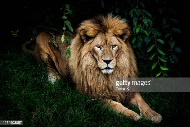 lion portrait - animals in the wild stock pictures, royalty-free photos & images