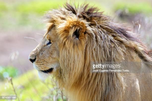 Lion portrait / Retrato del Leon