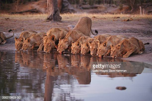 lion pride (panthera leo) drinking from swamp - waterhole stock pictures, royalty-free photos & images