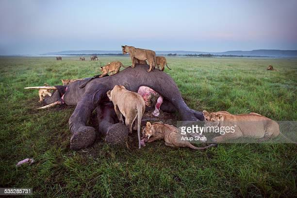 Lion pride feeding on an elephant carcass