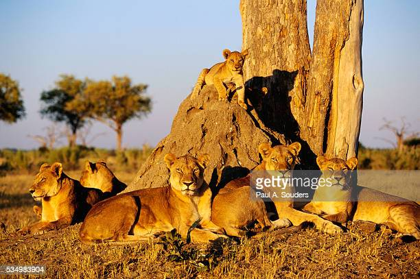 lion pride resting at acacia tree - botswana stock pictures, royalty-free photos & images