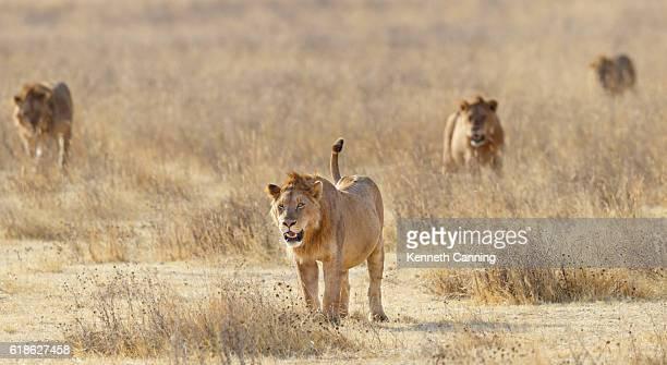 Lion Pride Stalking Across Ngorongoro, Tanzania Africa