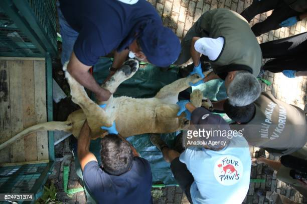 A lion receives a medical treatment from a health care member who works for the name of Four Paws in Bursa Turkey on July 30 2017 Heavily injured...