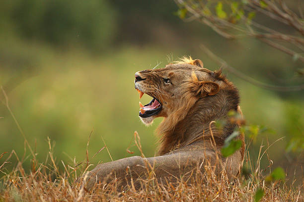 Lion relaxes on the banks of the Luvuvhu river at the Pafuri game reserve on July 21, 2010 in Kruger National Park, South Africa. Kruger National...