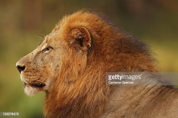 A lion relaxes on the banks of the Luvuvhu river at the Pafuri game reserve on July 22 2010 in Kruger National Park South Africa Kruger National Park...