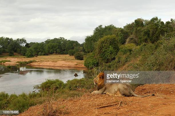Lion relaxes on the banks of the Luvuvhu river at the Pafuri game reserve on July 22, 2010 in Kruger National Park, South Africa. Kruger National...