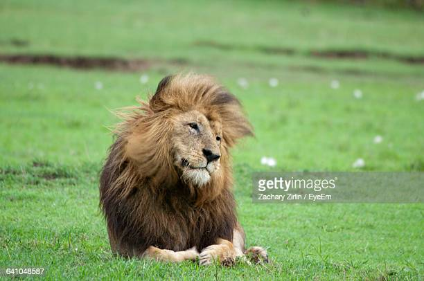 Lion Relaxing On Grassy Field