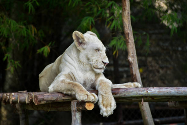 Lion Relaxing On Tree