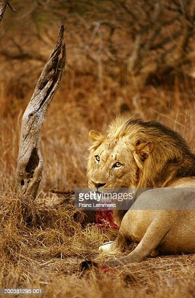 Lion (Panthera leo) resting after eating kill