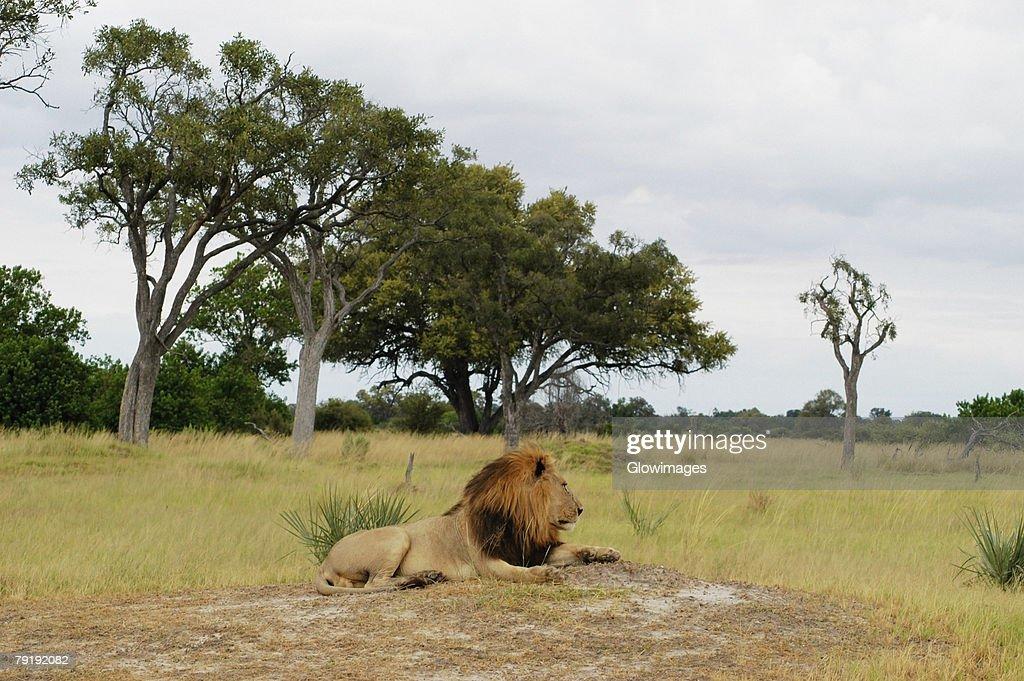 Lion (Panthera leo) resting in a forest, Okavango Delta, Botswana : Foto de stock