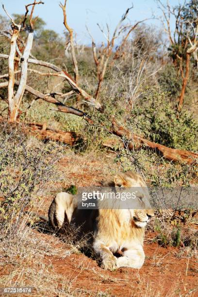 Lion resting in the Madikwe Game Reserve in South Africa