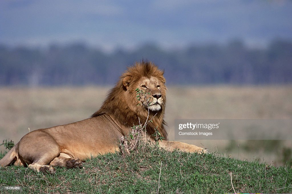 Lion resting , Kenya , Africa : Stockfoto