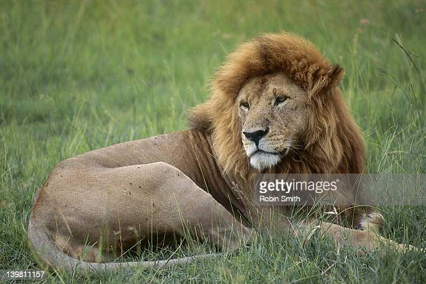 lion resting, masai mara, kenya - eastern african tribal culture stock photos and pictures