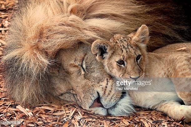 lion resting - lion cub stock-fotos und bilder
