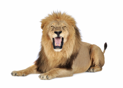 A lion roaring on a white background 93215564