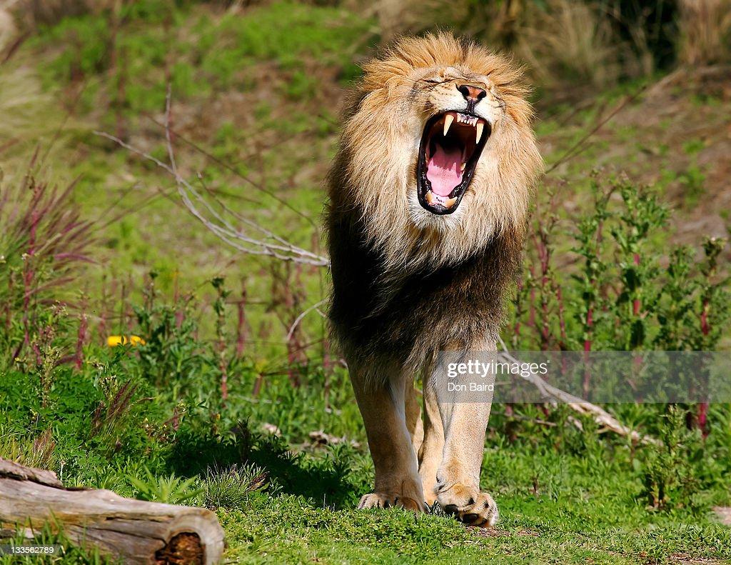 Lion roaring : Stock-Foto