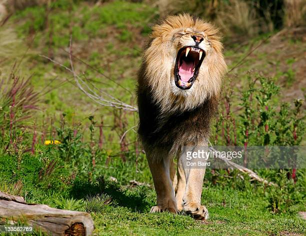 lion roaring - lion feline stock pictures, royalty-free photos & images