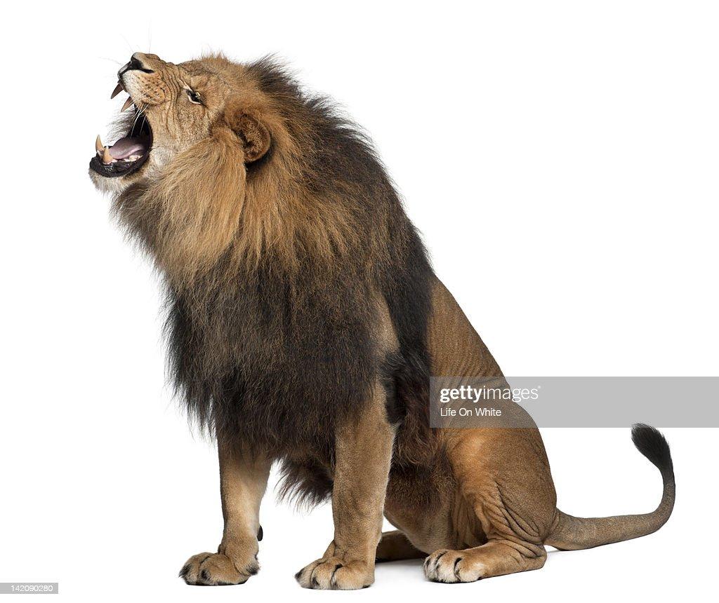 Lion Roaring Foto de stock | Getty Images - photo#30