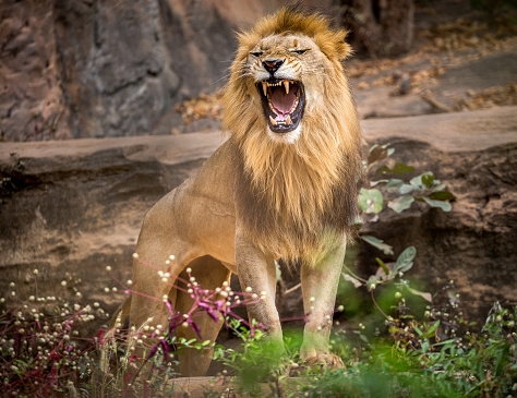 Lion roaring, standing amidst the natural environment of the forest. 970837166