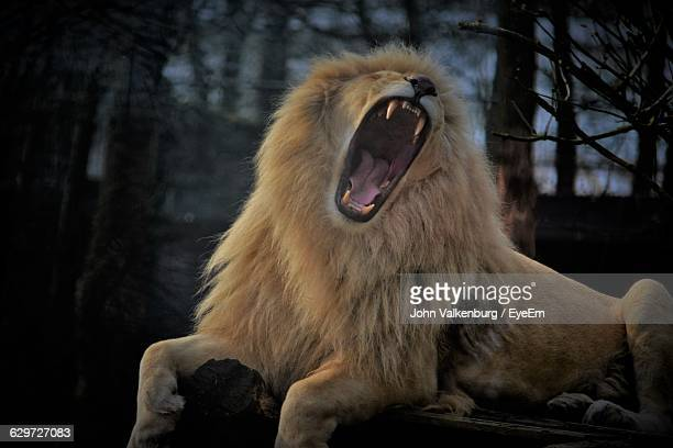 lion roaring while relaxing on log - lion roar stock pictures, royalty-free photos & images