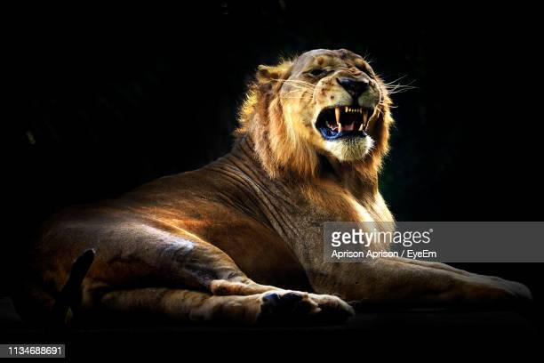 lion roaring while sitting against black background - lion roar stock pictures, royalty-free photos & images