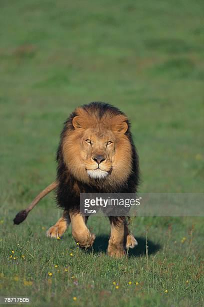 Lion Running in Field